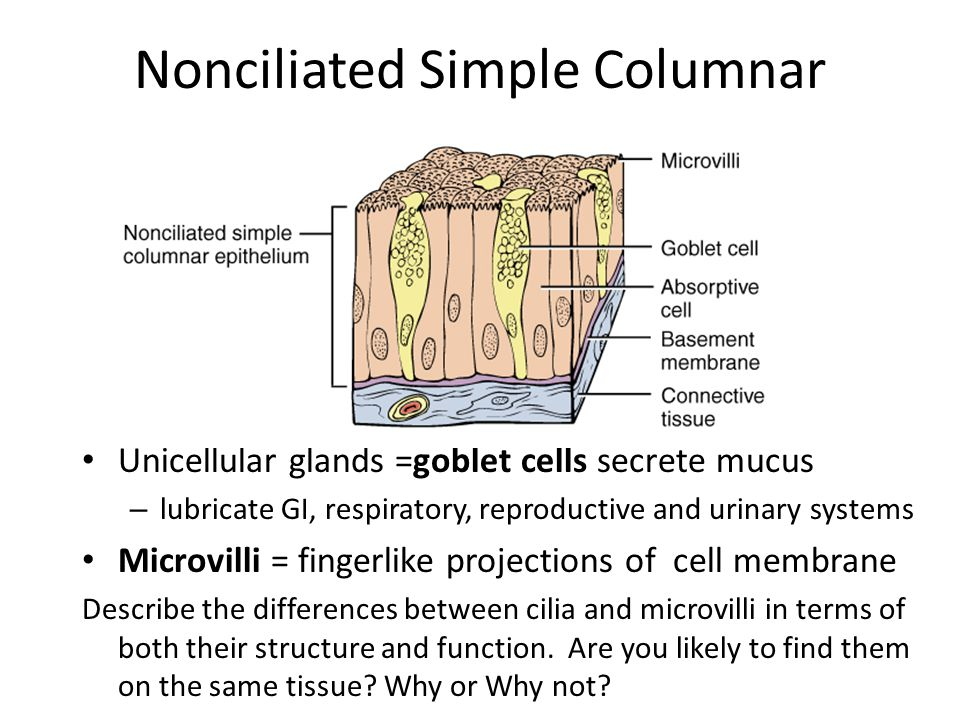 Nonciliated Simple Columnar