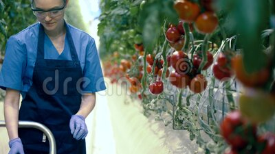 Female worker collects tomatoes from branches at a greenhouse. Agriculture, fresh healthy organic food concept. stock video